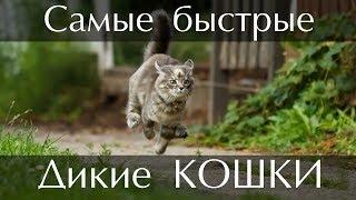 ТОП 10 Самых быстрых диких кошек в мире