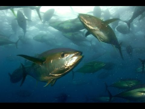 Spearfishing Gigant Yellow fin Tuna.Panama.Подводная охота н