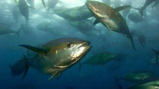 Spearfishing Gigant Yellow fin Tuna.Panama.Подводная охота на ТУНЦА.Шок вода бурлит от рыбы.