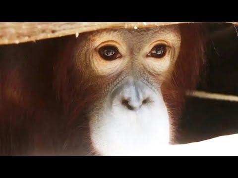 Endonezya'da kafesteki orangutanlar kurtarıldı