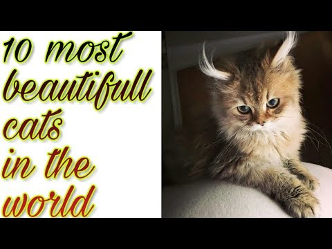10 most beautifull cat breed in the world