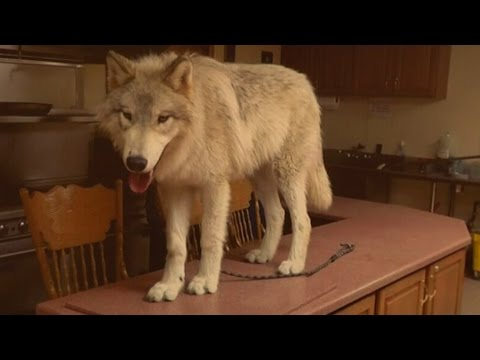 Wolfdog Rescues Find Safe Haven at Howling Woods Farm