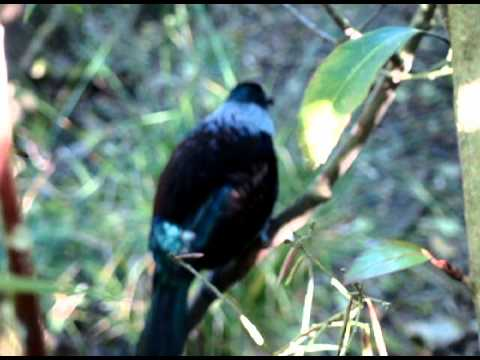 Tui Bird Singing...Crazy Complicated Song!!!!