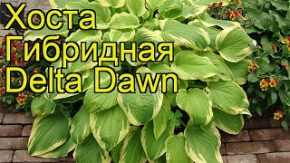 Хоста гибридная Делта Даун. Краткий обзор описание характеристик hosta hybridum Delta Dawn