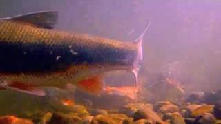 多摩川マルタウグイ遡上水中映像PV