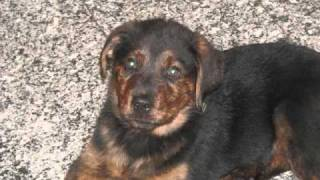 Czar Rottie German Shepherd Mix Growing Up