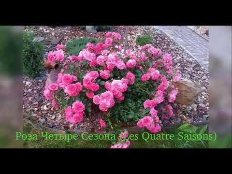 Rose Les Quatre Saisons (Роза Четыре Сезона)