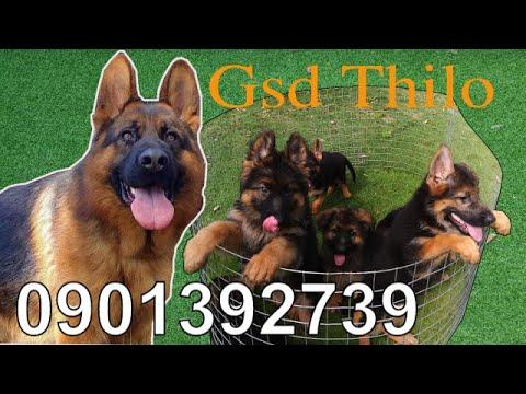 GSD   Xuất chuồng đàn chó becgie đức con thuần chủng đẹp hậu duệ THILO