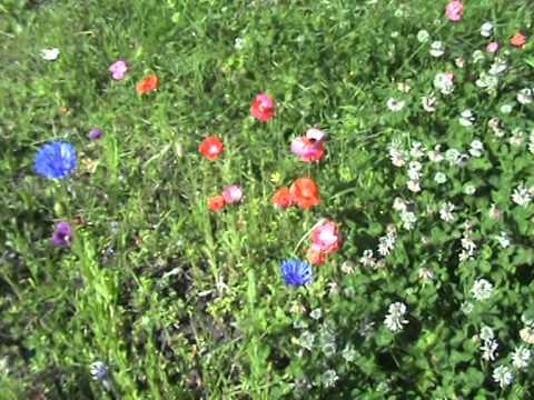 My Wildflower Garden Year YouTube - Wild flower garden