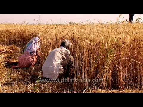 Labourers harvest wheat in India