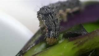 Cabbage Moth Larva Scratching Its Head ヨトウガ(蛾)幼虫が食事中に身悶えする謎の行動 thumbnail