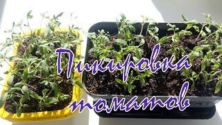 Пикировка томатов(В этом видео я поделюсь с вами способом пикировки томатов и подготовкой стаканчиков с помощью паяльника!..., 2016-03-25T09:29:25.000Z)