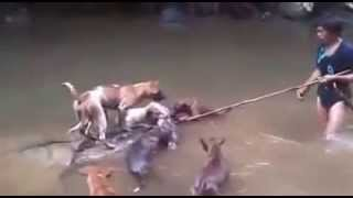 Memburu Babi Hutan Menggunakan Anjing