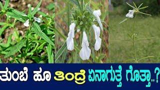 ತುಂಬೆ: ಇದು ಅದ್ಭುತ ಔಷಧಗಳ ಆಗರ..! Medicinal benefits of Leucas - Tumabe herb / M2
