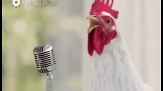 La chanson des poules avec des poules