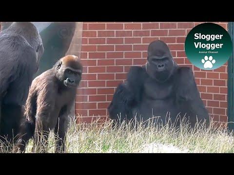 Son Screams As Annoyed Silverback Gorilla Pounces On Him