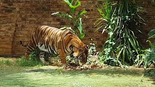 How I gained Enzo the tiger's trust !
