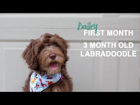 New Puppy's First Bath & Puppy Learning Stairs | 3 month old Labradoodle Puppy