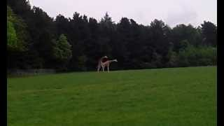 Giraffes attempt mating, fails hilariously