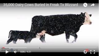 35 000 Dairy Cows Buried In Freak Tx Blizzard
