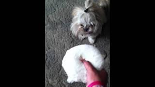 Shih Tzu Singing Puppy Amazing Jk