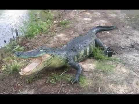 ANIMATRONIC ALLIGATOR AND PRANK GATOR SUBMARINE TECH WORKS FX STUDIOS