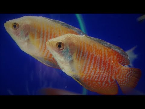 Dwarf Gourami Best Tank Mates - What Fish Can You Have With Dwarf Gourami