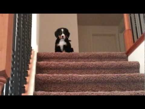 Alli the bernese puppy defeating her stairs!