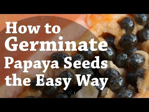 How To Germinate Papaya Seeds the Easy Way (TCEG Episode 2)
