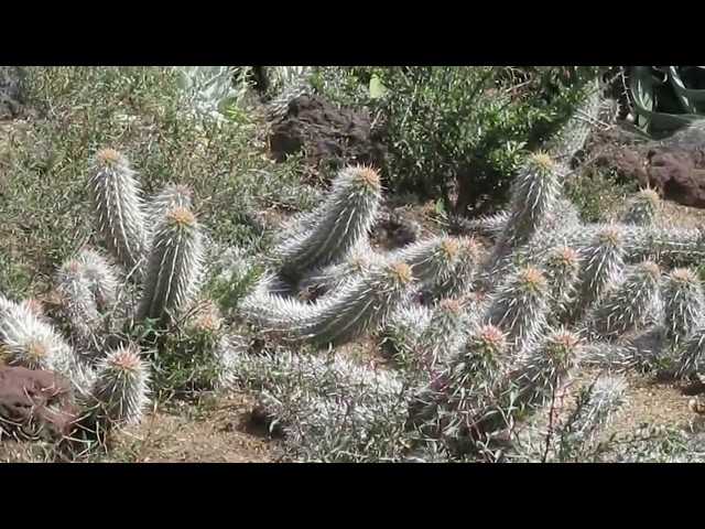 Succulents: Stenocereus Eruca  The Creeping devil