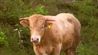 Zwierzęta na Farmie: Krowy Pastwisko Polska Wieś - Baw się z nami
