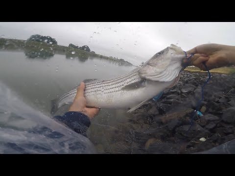How To Catch Sacramento River Striped Bass (Bank Fishing)
