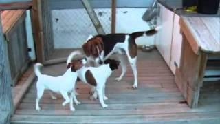 Собака породы американский фоксхаунд получена путем сложного скрещи...