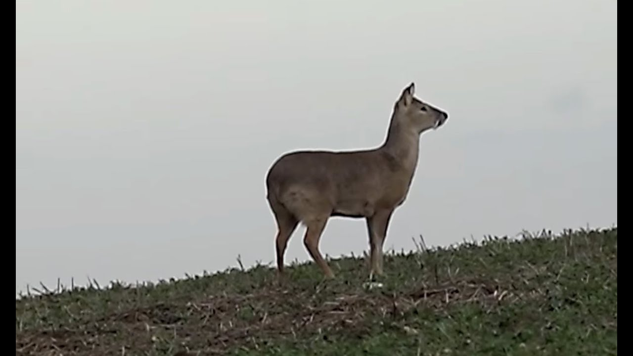 The Shooting Show – evening and morning Chinese water deer stalk