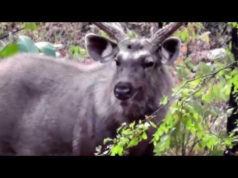 Sambar Deer Ranthambore 3