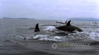 Ocean Footage: Orcas in the wild