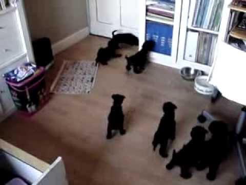 Edbrios Kerry Blue Terrier Puppies 2013 - just 5 weeks old