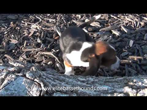 Miniature Basset Hound Puppies