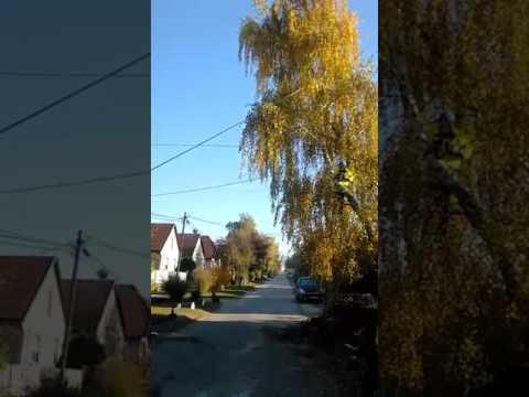 Villamos hálózatba nőt fa kivágása