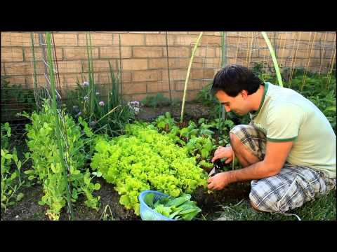 How To Regrow Cut Garden Lettuce for repeated crops with California Gardener