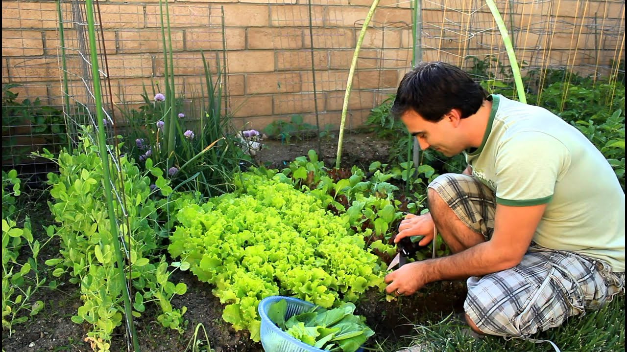 How To Regrow Cut Garden Lettuce For Repeated Crops With California Gardener Youtube