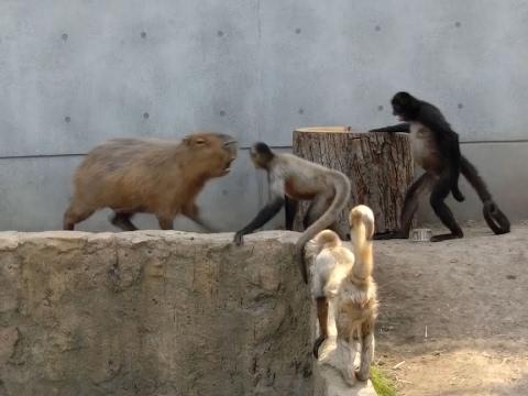 旭山動物園(北海道旭川市) カピバラvsクモザルの喧嘩!? - Capybara vs Spidermonkey at ASAHIYAMA ZOO