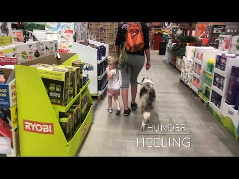 1YR old Border Collies Agnes & Thunder | Port Saint Lucie Dog Trainers | Best Border Collie Trainers