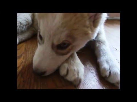 12 Week Old Husky's Funky Eye Color Revealed + Kita's Shout Out & Husky Cuddles Like A Baby