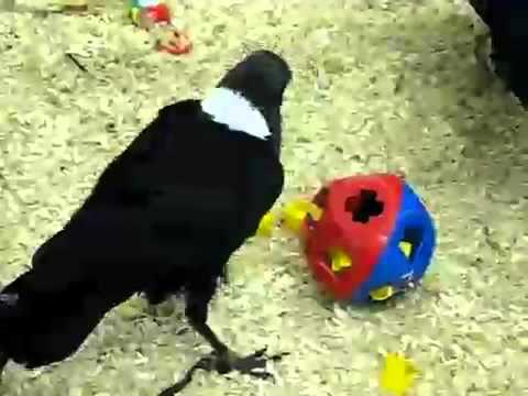 Kluger Vogel löst Puzzle