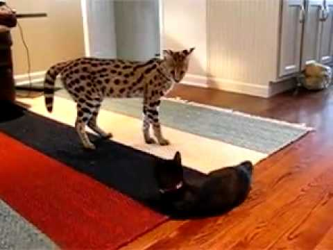 Гималайская кошка: фото, цена, описание породы, характер
