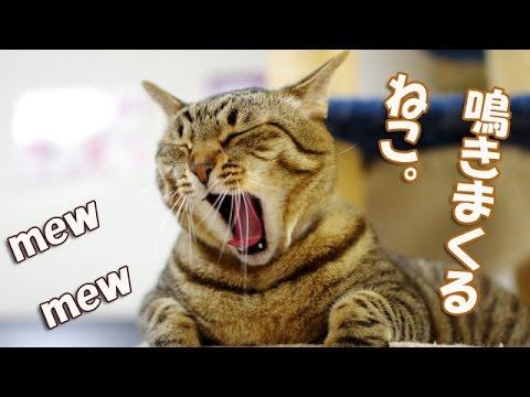 【鳴いて追いかける猫】笑えるほど粘り強い猫Hungry cat