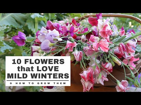 10 COOL SEASON Flowers that LOVE MILD WINTERS: and HOW TO GROW them