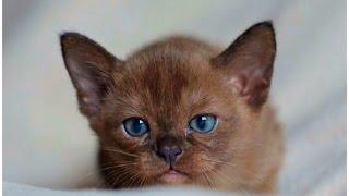 Burmese Kittens | Европейская бурма | Бурма | BURMALIN | Бурмалин