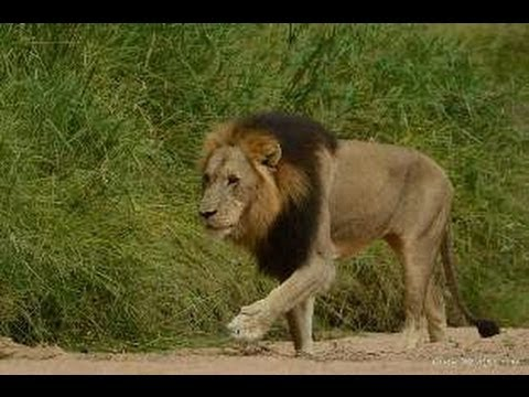 Huge Male Lion Crossing The Road - 11 May 2013 - Latest Sightings